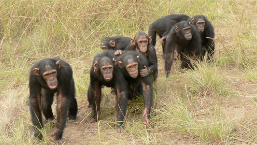 a study on the similarities and differences between chimpanzees and humans New research evaluating similarities between human and  this study shows that  it is now clear that the genetic differences between humans and chimpanzees are.