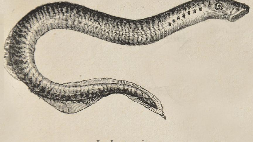 A Drawing Of Lamprey Illustration By Lamiot Via Wikimedia Commons