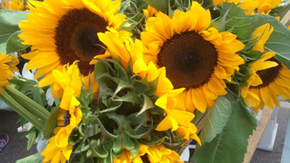 Sunflowers Used To Clean Up Radiation The World From Prx