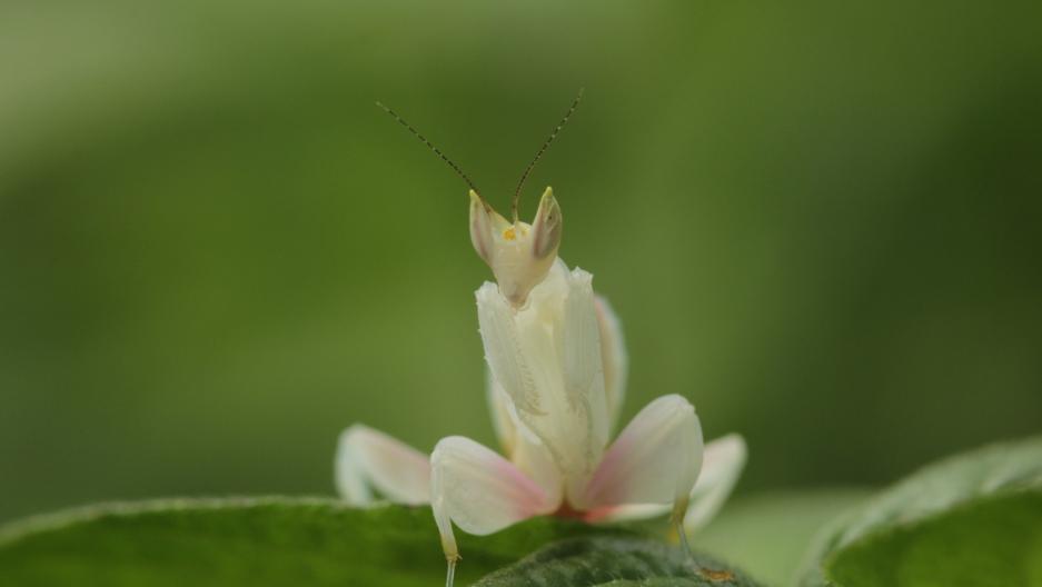 female juvenile orchid mantis