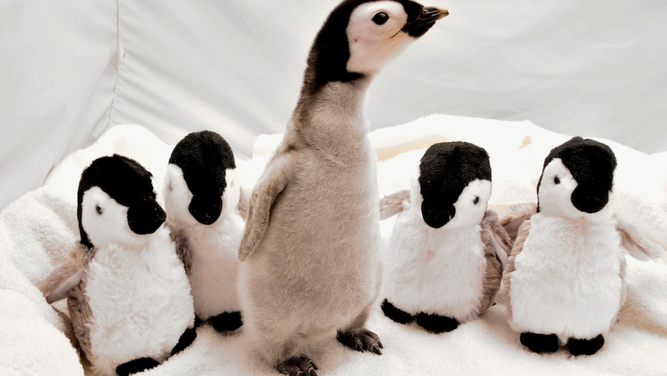 Penguin Lost In New Zealand Happy Feet Offered Ride Home