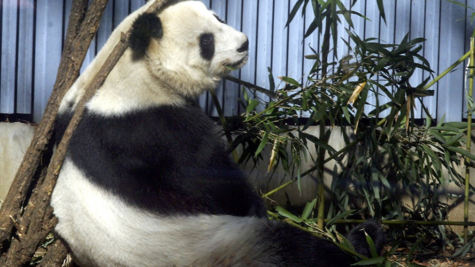 Giant panda dies from 'natural causes' in Mexico City zoo | Public