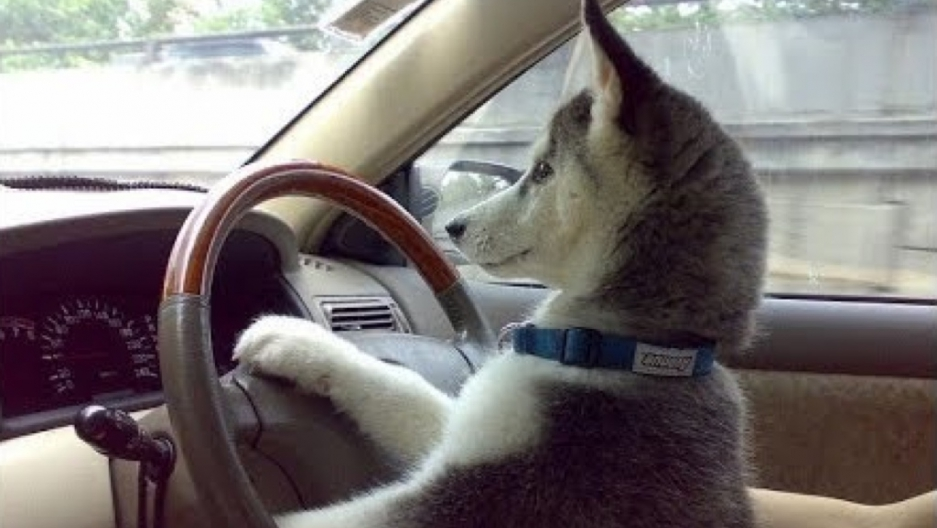 Siberian Husky Hotwires Car And Crashes It Into A Mercedes In