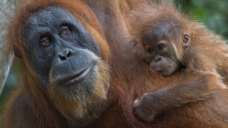 Palm Oil In Indonesia Irresponsible Tourism Threatens The Endangered Orangutans Survival The Etownian In Indonesia Irresponsible Tourism Threatens The Endangered