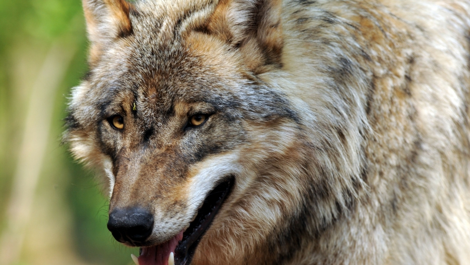 Wolf Germany germany has a serious wolf problem and no one knows what to do about