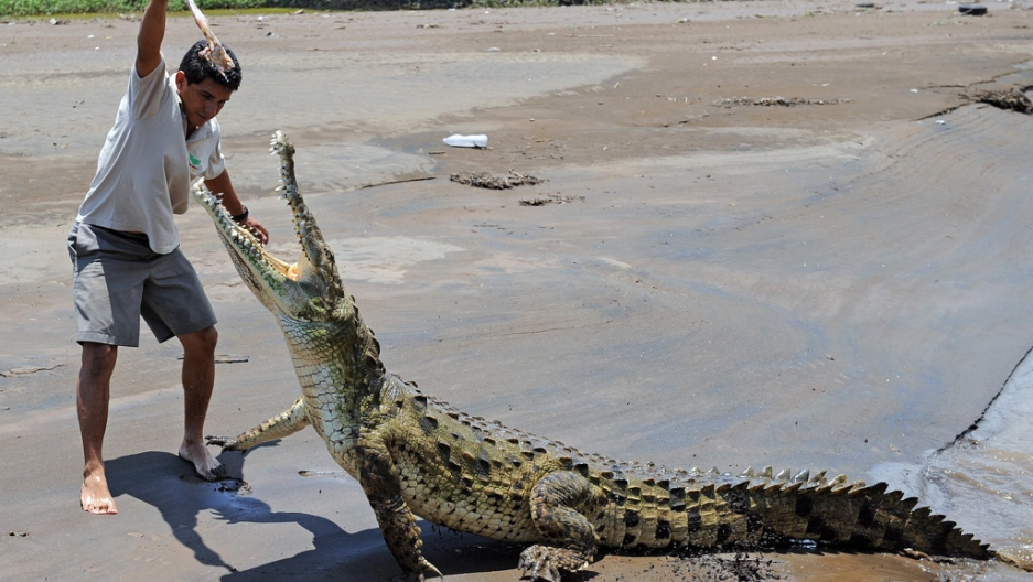 Juan Carlos Buitrago Feeds A Piece Of En To Crocodile On The Banks Costa Rica S Tarcoles River