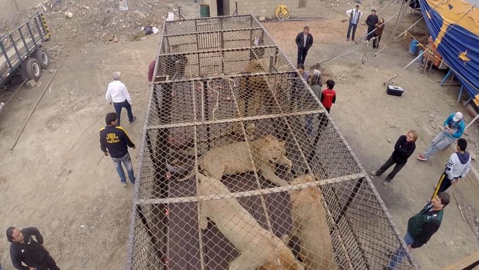 Circus lion rescue