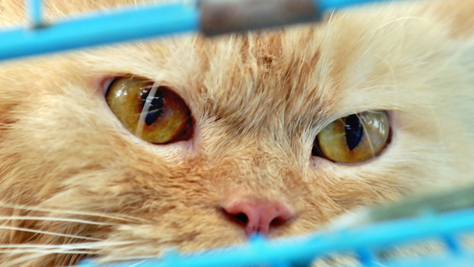 Feral cats, not domesticated ones, will be the target of the Australian government-sanctioned cull.