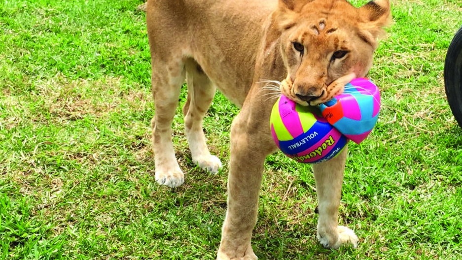 Rescued lion with soccer balls
