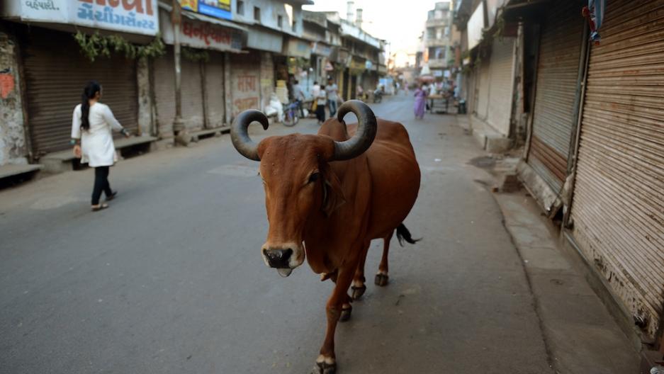 India street cow