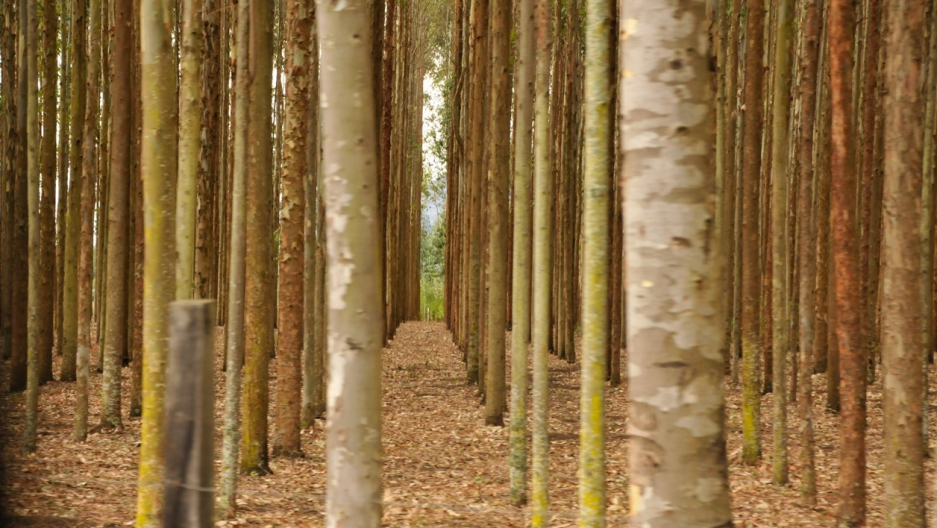Kenya trees