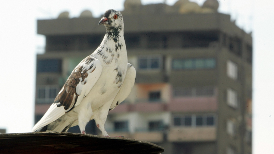 Racing pigeon Bolt sells for a record $400,000   Public