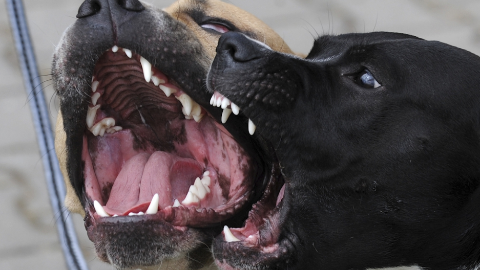 Philippines: 300 pitbulls rescued from dog fighting