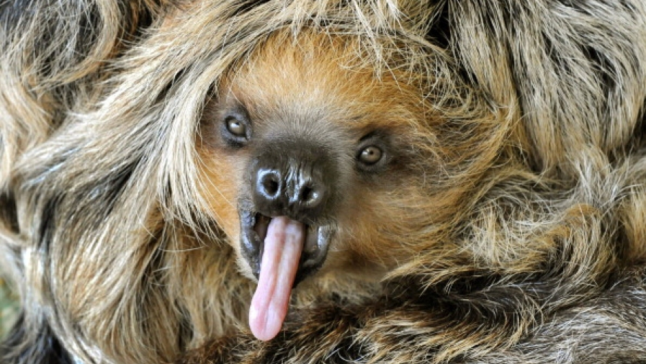 Sex lives of sloths  Not as boring as we think | Public Radio