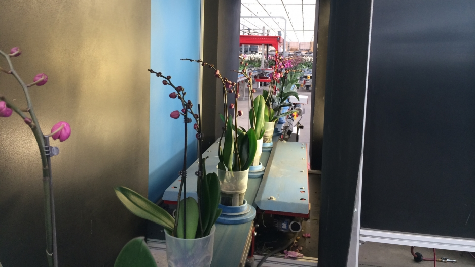 Budding orchids are prepared to be supplied to stores such as Home Depot and Walmart.
