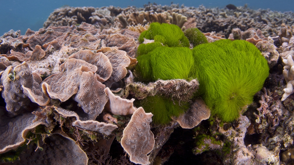 Algae has started to grow on this coral reef. Georgia Tech researchers say that just a touch from some algae species can start to kill corals in as little as two days, but that the corals also send out chemical distress signals that may attract fish to co