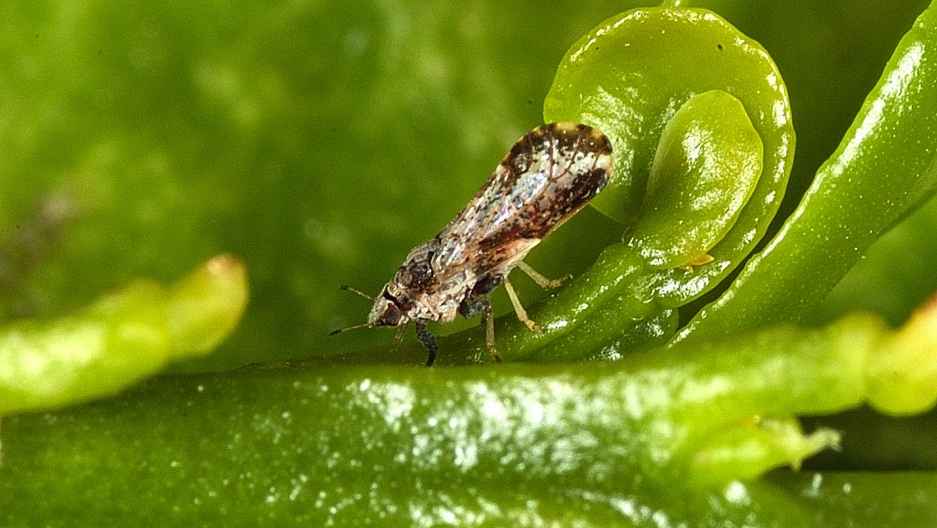 An Asian citrus psyllid (2-3 millimeters long) on a young citrus leaf. It can carry a disease that damages citrus fruit. Scientists in the US are introducing the Tamarixia wasp from Pakistan to control the invasive psyllid.