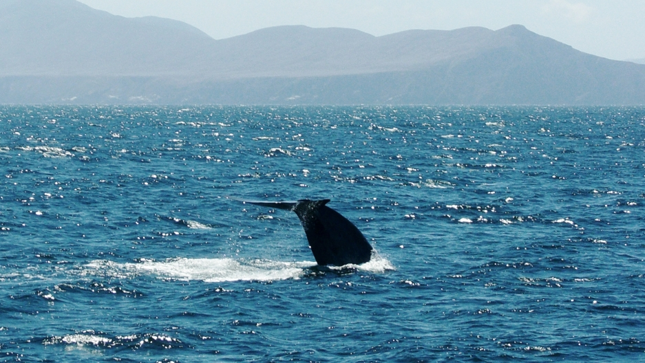 The tail fluke of a blue whale's tail fluke off California's Santa Barbara Channel Islands. The Northeast Pacific population of blue whales is one of the few that ventures close to shore, making it relatively easy to evaluate. But from what researchers do