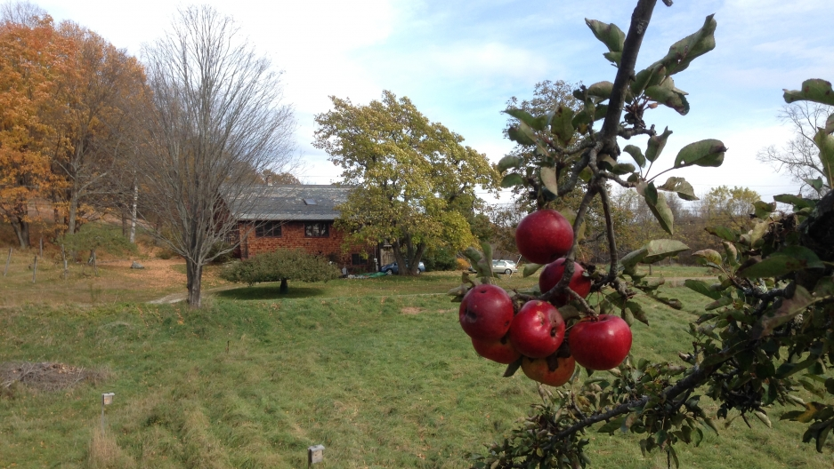 2013 was a banner year for apples in New England and even the old, long-neglected trees at the Thomson farm in Western Massachusetts got caught up in the frenzy.