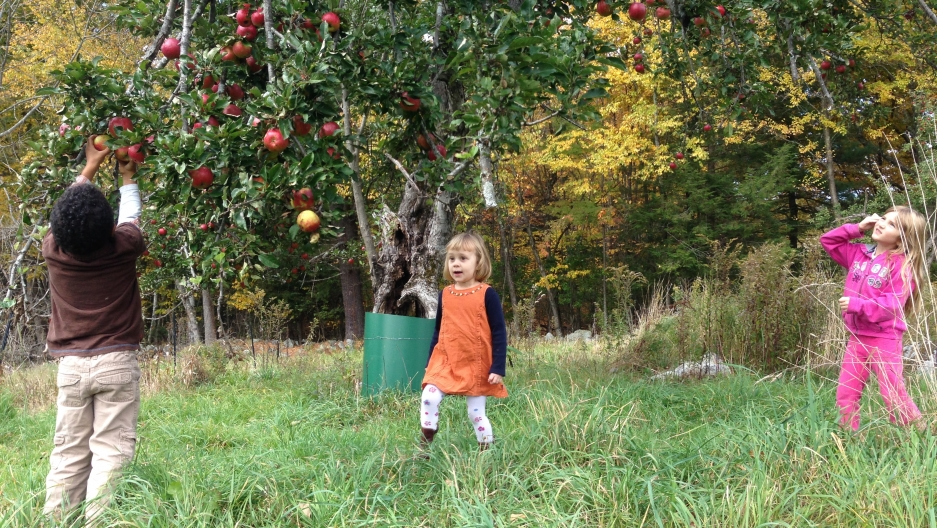 Picking in a remnant of one of the farm's old orchards, no ladder necessary.