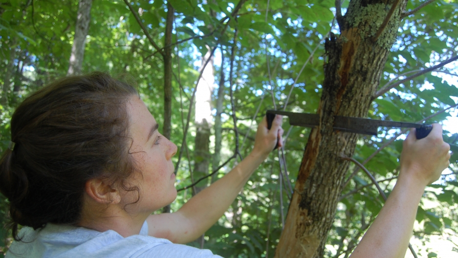 Molly Heuss, New Hampshire Division of Forests and Lands, peels the bark of an infested ash tree in Concord, NH