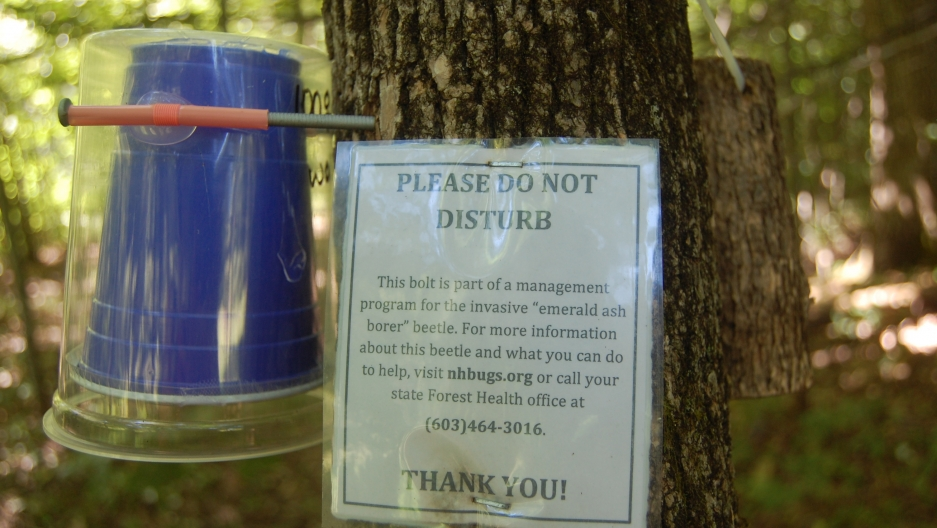 Researchers are using low-tech methods like this plastic cup nailed to an ash tree to release parasitic Oobius agrili wasps in New Hampshire and 17 other states. They're hoping the wasps, which are natural predators of emerald ash borers in their native C