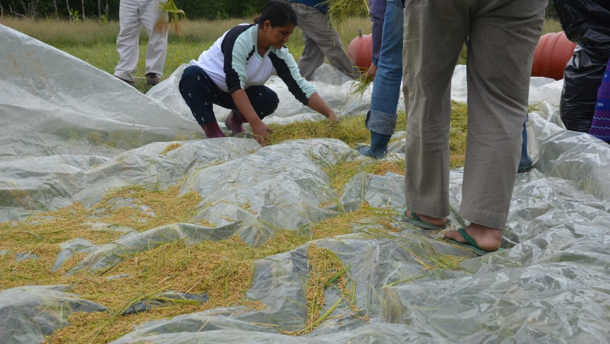 Rita Neopaney helps separate the rice stalks from the grains that have been removed. Neopaney spent much of her youth in a refugee camp in Nepal, but still remembers how to harvest rice from her years in Bhutan.