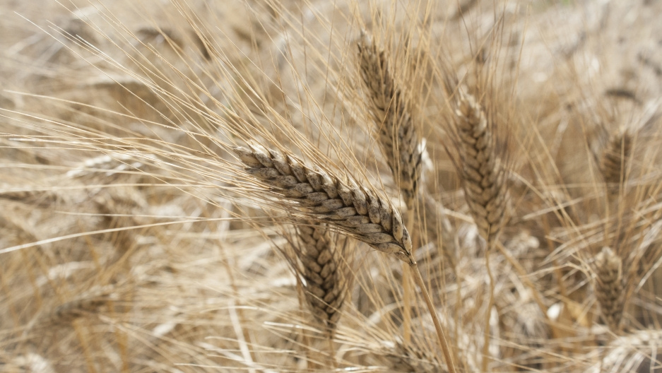 Wheat grown in the south of Italy. The grains will be modified in a lab to contain less gluten.