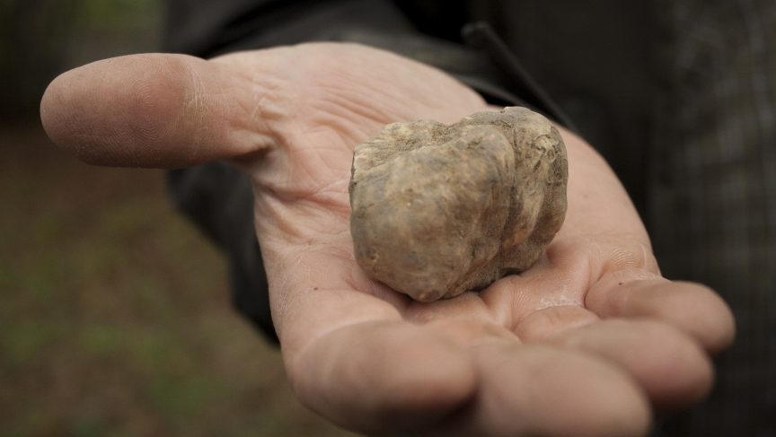 Walter holds a white truffle in his hand.  His latest is worth about $100 in the local market.