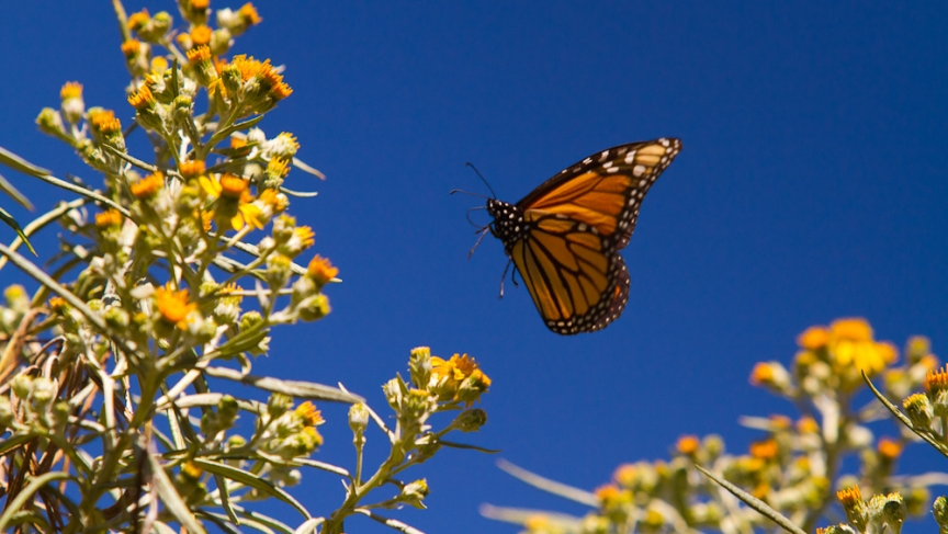 Monarch butterfly (Photo: Dave Sherwood)