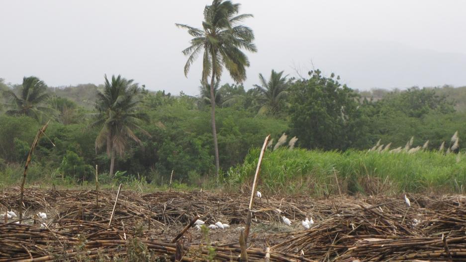 Sugar cane fields near Batey Ocho, Southwest Dominican Republic.