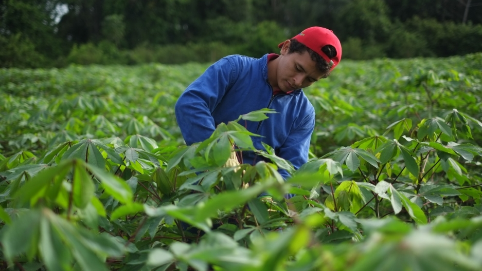 Geneticist Ian Sanders and his colleagues grew cassava in this field in Columbia using a fungal gel that he says improved yields by 20 percent. Cassava, which is native to Columbia, is one of the world's most important food crops, feeding over a billion p