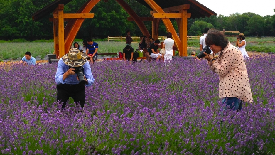 There seems to be a growing market for lavender in the US