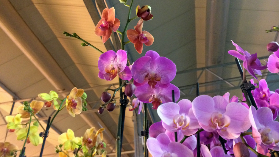 An orchid plant at Green Circle Growers in Oberlin, Ohio.