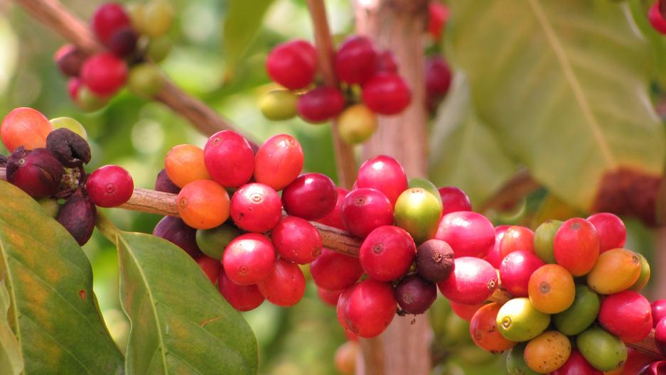 coffea arabica.