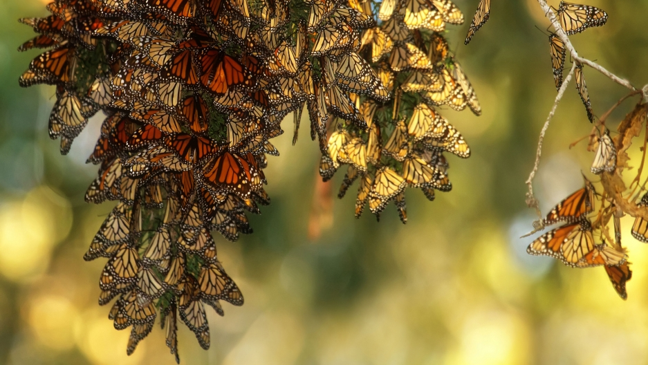 Monarch butterflies at the Pismo Beach Monarch Butterfly Grove in California.