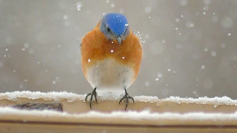 A bluebird braves the cold.