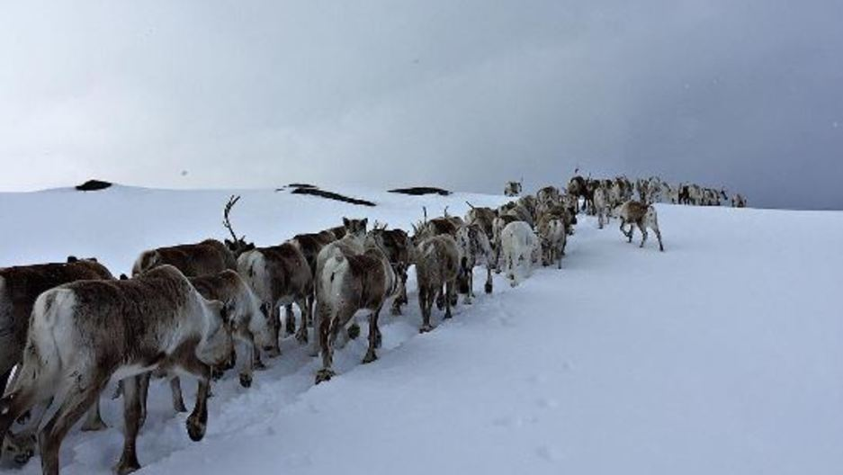 Norway's reindeer head for spring pastures.