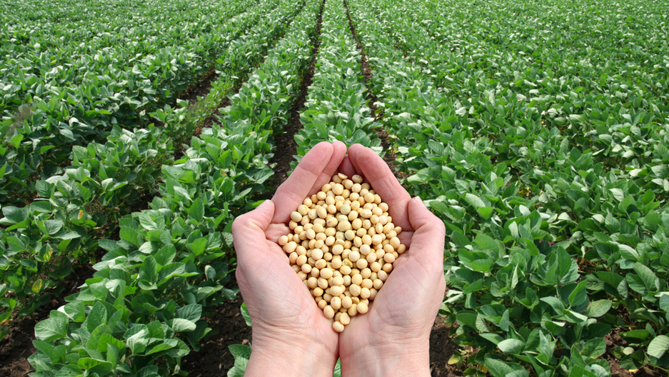 Soybeans with field