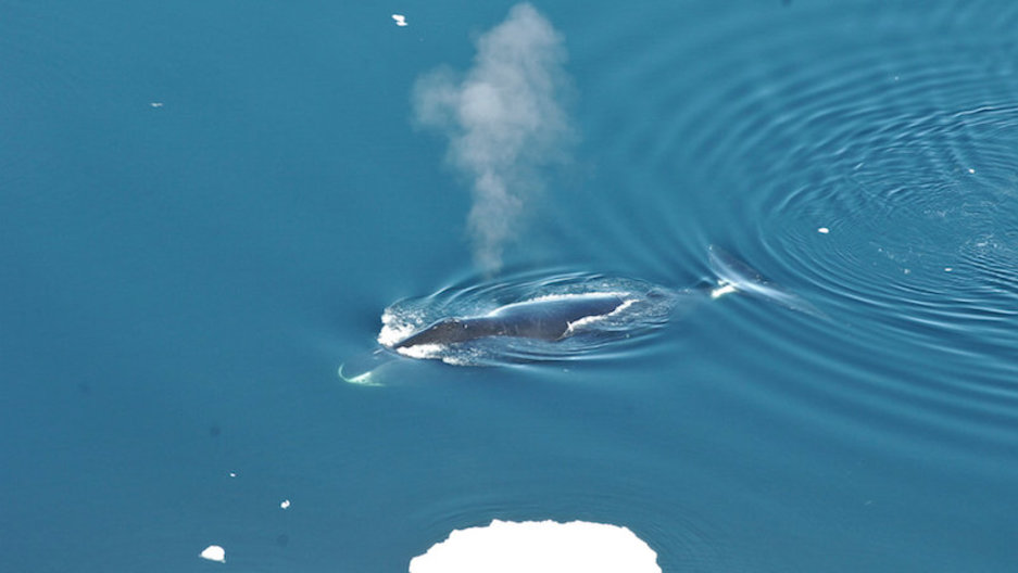 Blubber and bebop: Researchers say bowhead whale songs akin to jazz