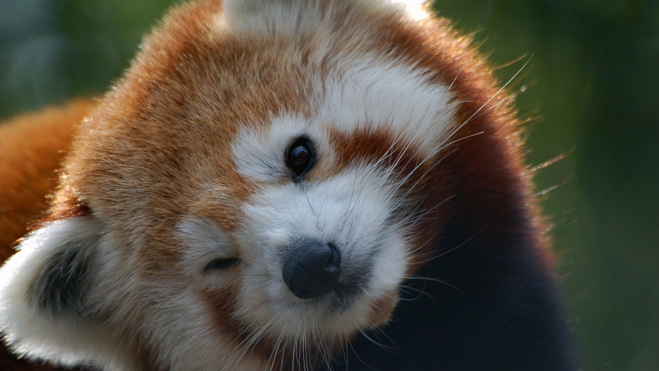 Nepal closes a national park to give mating red pandas ...