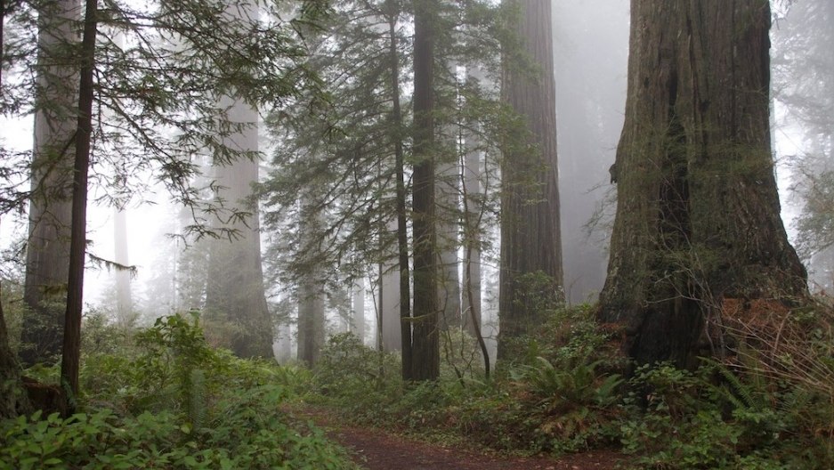 Fog among the redwoods in the Lady Bird Johnson Grove of California's Redwood National Forest.