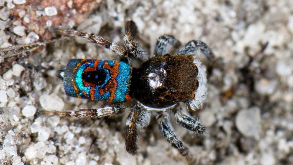 a peacock spider