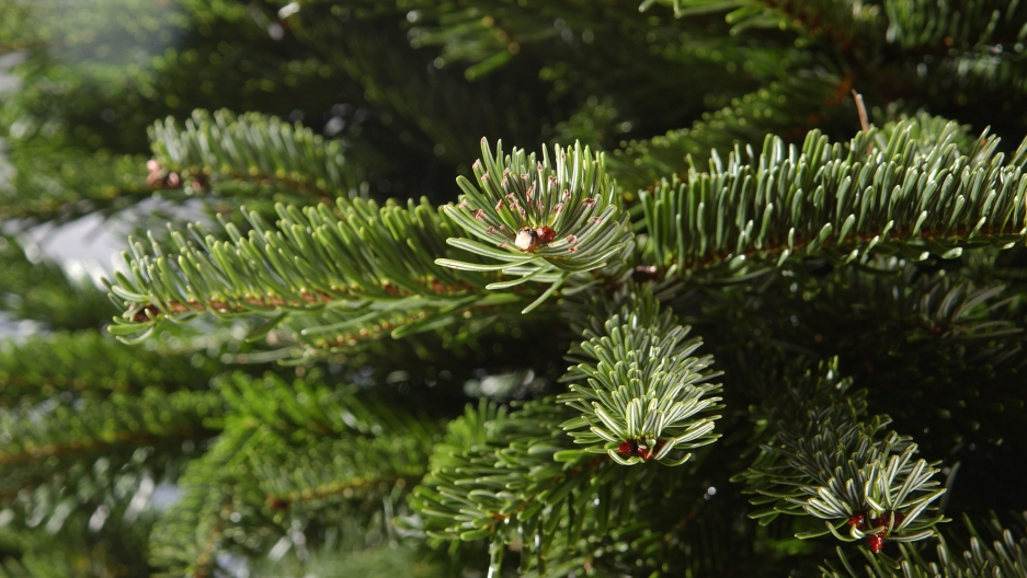 It has nothing to do with holiday spirit. Why your Christmas tree loses its  needles. - It Has Nothing To Do With Holiday Spirit. Why Your Christmas Tree
