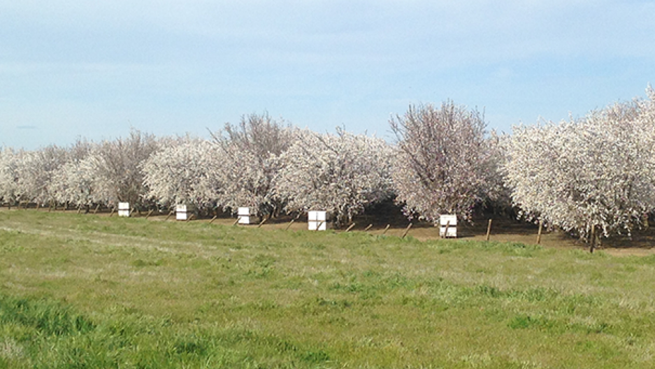 Beehives and almond trees