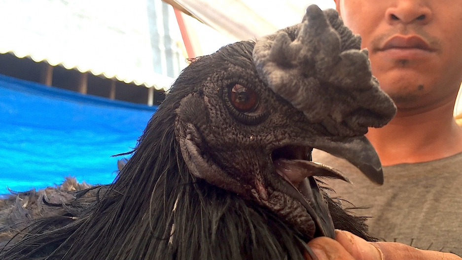 Ayam cemani is the most bewitching chicken on Earth