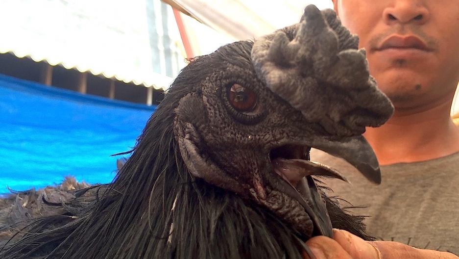ayam cemani black chicken