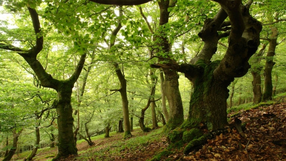 Ancient Beech Forest Germany