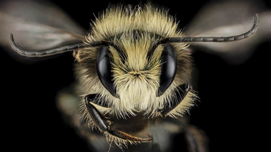 A close-up view of a male blue orchard bee, also known as Osmia lignaria. This type of bee, which is native to North America, is known to be one of the world's best pollinators.