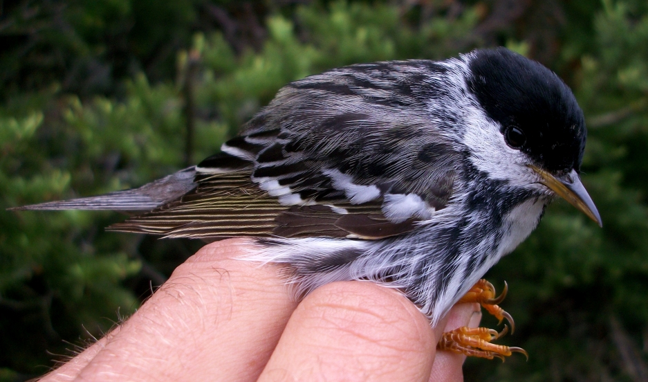 A Blackpoll warbler sits on a person's hand.